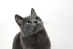 Studio portrait of a beautiful grey cat on white background Royalty Free Stock Photo