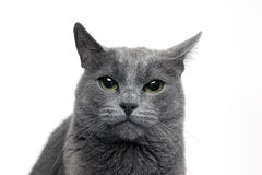 Studio portrait of a beautiful grey cat on white background Royalty Free Stock Images