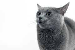 Studio portrait of a beautiful grey cat on white background Stock Photography