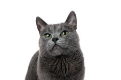 Studio portrait of a beautiful grey cat on white background Stock Images