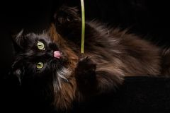 Studio Portrait of a beautiful Maine Coon Cat Stock Photo