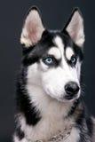 Studio portrait of beautiful Siberian Husky Royalty Free Stock Photos