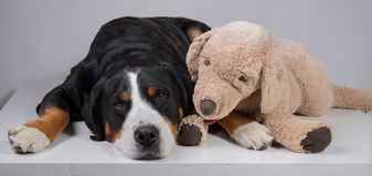 Portrait of a beautiful swiss mountain dog royalty free stock image