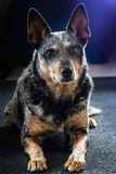 Studio portrait of a beautiful tri-coloured Blue Heeler Dog royalty free stock image