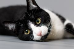Studio portrait of a black and white cat. Against a grey seamless background stock images