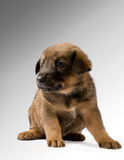 Studio portrait of a brown puppy Royalty Free Stock Photos