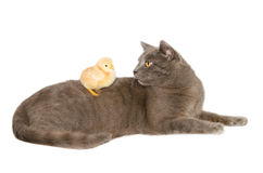 Studio portrait of cat with baby chick Stock Photos