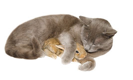 Studio portrait of chartreux cat embraced a little bunny Stock Photo