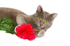 Studio portrait of chartreux kitten with red rose Royalty Free Stock Photo