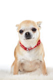 Studio Portrait Of Chihuahua Dog Against White Background Royalty Free Stock Photos