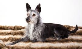 Studio-portrait d'un vieux chien photo stock