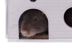 Domestic rat in the house closeup royalty free stock photography