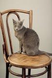 Russian Blue Cat Portrait Stock Photo