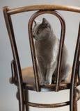 Russian Blue Cat Portrait Stock Photos