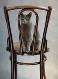 Russian Blue Cat Portrait Royalty Free Stock Photo