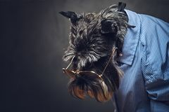 A dogs dressed in a blue shirt and sunglasses. Studio portrait of fashionable schnauzer dogs dressed in a blue shirt and sunglasses Stock Photo
