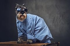 A dogs dressed in a blue shirt and sunglasses. Studio portrait of fashionable schnauzer dogs dressed in a blue shirt and sunglasses Stock Image