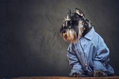 A dogs dressed in a blue shirt and sunglasses. Studio portrait of fashionable schnauzer dogs dressed in a blue shirt and sunglasses Royalty Free Stock Photo