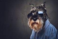 A dogs dressed in a blue shirt and sunglasses. Studio portrait of fashionable schnauzer dogs dressed in a blue shirt and sunglasses Royalty Free Stock Images
