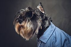 A dogs dressed in a blue shirt and sunglasses. Royalty Free Stock Image