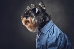 A dogs dressed in a blue shirt and sunglasses. Studio portrait of fashionable schnauzer dogs dressed in a blue shirt and sunglasses Stock Images