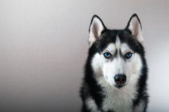 Studio portrait husky dog with stock images