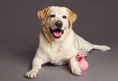 Labrador Dog Studio Portrait with Toy Duck. Studio portrait of a Labrador dog with a pink duck toy Stock Photography
