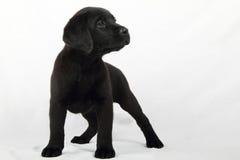 Studio portrait of a labrador puppy. Nice studio portrait of a Labrador retriever puppy Stock Photography