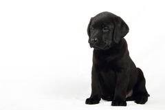 Studio portrait of a labrador puppy Royalty Free Stock Images