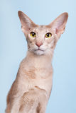 Studio portrait of lavender Siamese cat on blue background Stock Image