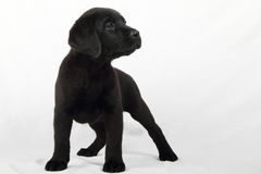 Studio Portrait Of A Labrador Puppy Stock Photography