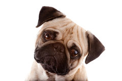 Studio Portrait of a Pug Stock Photo