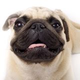Studio Portrait of a  Pug puppy Royalty Free Stock Photos