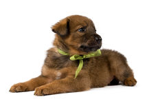 Studio portrait puppy with a bow Stock Photos