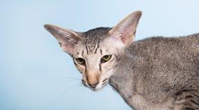 Studio portrait of seal tabby Siamese cat Stock Photos