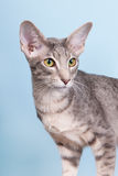 Studio portrait of seal tabby Siamese cat Royalty Free Stock Image