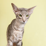Studio portrait of seal tabby Siamese cat Stock Photo