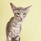 Studio portrait of seal tabby Siamese cat Stock Photo