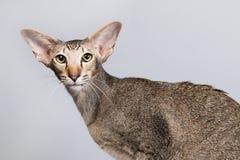 Studio portrait of tabby Siamese cat Stock Photos