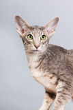 Studio portrait of tabby siamese cat Stock Images