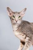 Studio portrait of tabby siamese cat Stock Images
