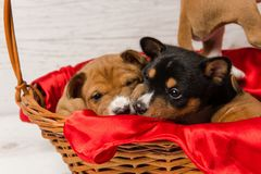 Close-up muzzles of cute basenji puppies. Studio portrait of two small dog in red basket. Close-up muzzles of cute basenji puppies Royalty Free Stock Photos