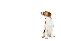 Studio-Porträt des Spürhund-Hundes gegen weißes Backgr Stockfotografie