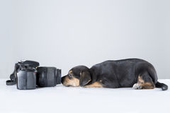 Studio puppie. In front of the camera a cute puppie looked that nice moment Royalty Free Stock Photo