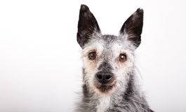 Studio-ritratto di vecchio cane Fotografie Stock