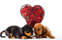 Studio rouge de coeur de chiot de chien de teckel Photo libre de droits
