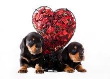 Studio rouge de coeur de chiot de chien de teckel Image stock