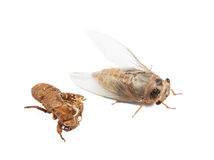 Studio shoot of new borned cicada Stock Photos