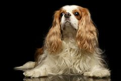 Studio shot of an adorable American Cocker Spaniel royalty free stock photos