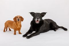 Crossbreed dog and Dachshund, best friends Royalty Free Stock Photography